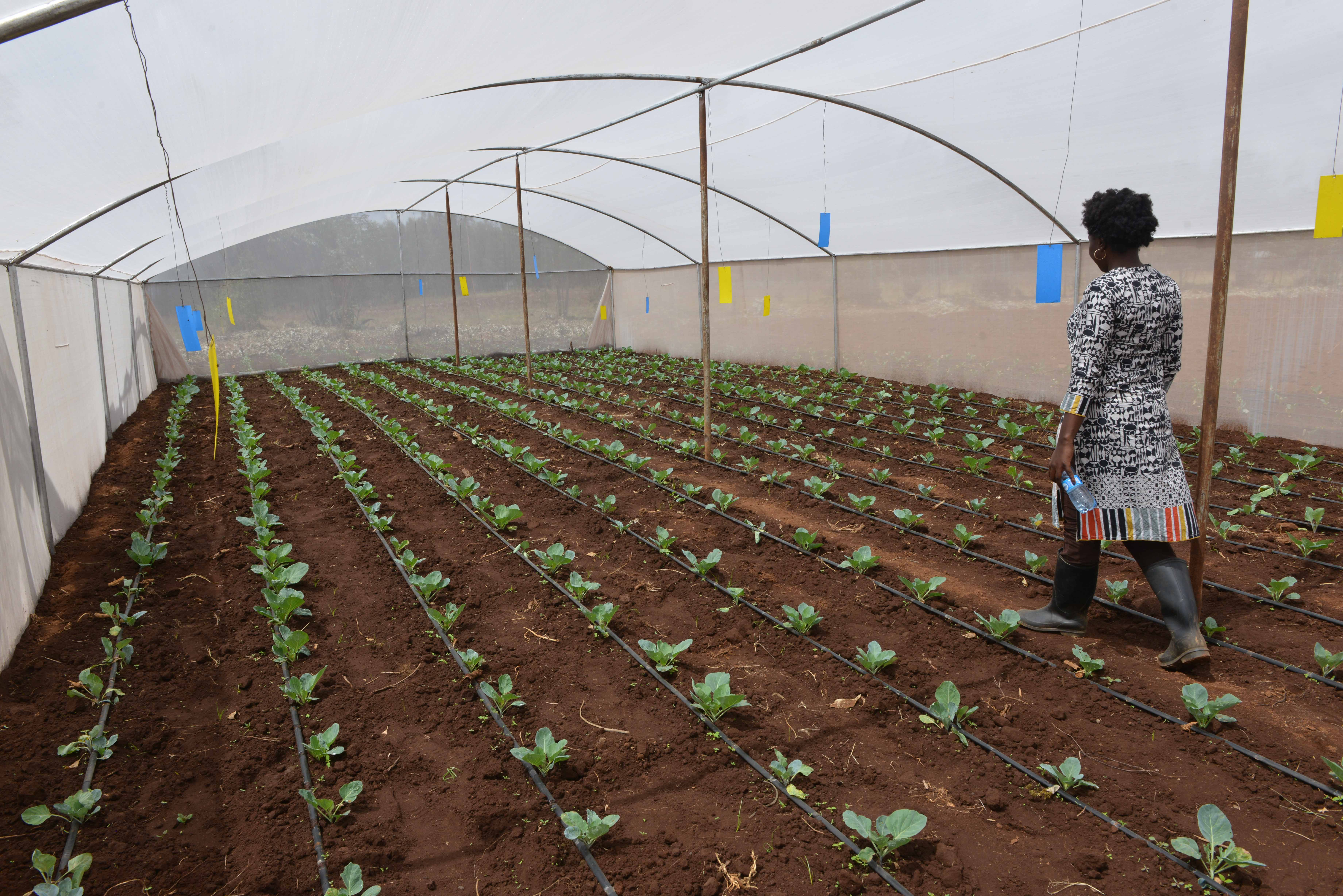 Woman walking through net house amid neat rows of vegetable plants.