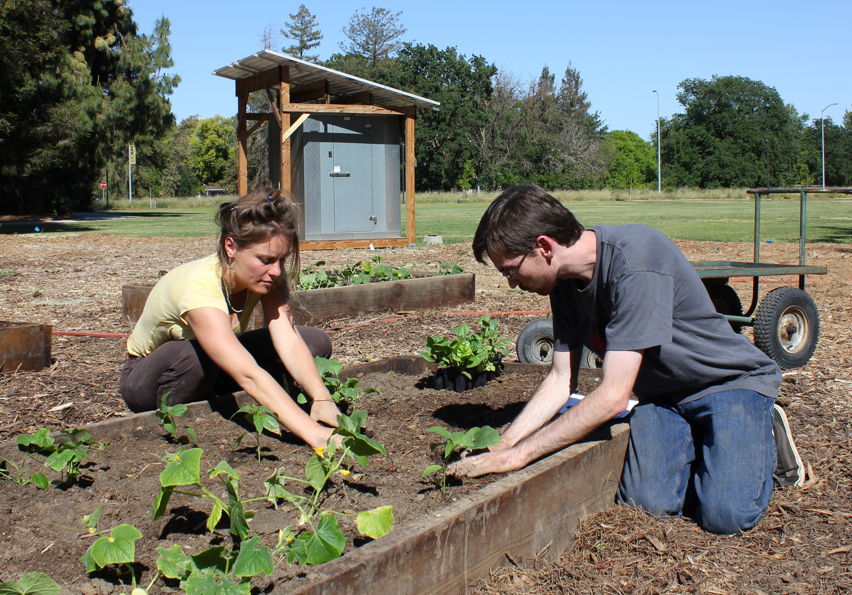 UC Davis students plant vegetable seedlings in raised garden beds on campus, with cooling shed and solar panels in background.