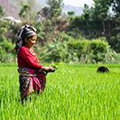 Rice farmer in field