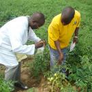Scientist and farmer gather tomato examples from farm field in Nigeria.