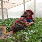 women farmers harvesting leafy green vegetables inside nethouse